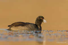 American Coot on a golden bay (Chantal Jacques Photography) Tags: americancoot goldenbay sunsetting elkbeaverlakeregionalpark wildandfree bokeh depthoffield