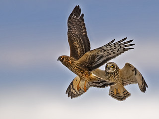 Short-eared Owl and Northern Harrier do Battle