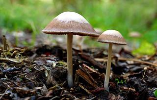 Panaeolus sphinctrinus - (Hoop petticoat)