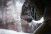 (emmavitallo) Tags: lincolnparkzoo lincoln park zoo chicago cold winter snow tiger plants conservatory illinois midwest flowers serenity love beauty beautiful canon 5dm2 5dmii wideangle zoom photography teenphotographers leaves green