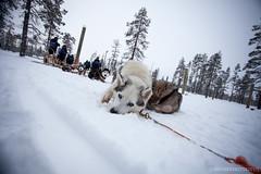 IMG_2298 (F@bione©) Tags: lapponia lapland marzo 2017 husky aurora boreale northenlight circolo polare artico rovagnemi finalndia finland