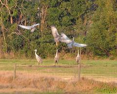 O1K_4962 (68photobug) Tags: 68photobug nikon d7000 sigmadg 150500mm polkcounty centralflorida usa birds outmybackdoor cranes sandhillcranes flight