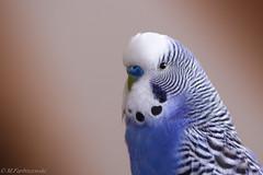 IMGP3542 (michałfarbiszewski) Tags: budgie parrot blue white portrait bird