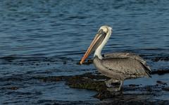 Galapagos-20140710-1807-BK2W7374 (Swaranjeet) Tags: birds pelican pelicans galapagos ecuador bird largebirds july2014 canon fullframe 1dx eos1dx dslr sjs swaran swaranjeet swaranjeetsingh sjsvision sjsphotography swaranjeetphotography 2014 eos canoneos1dx 35mm ef pro 200400 canonef200400mm canonef200400mmf4lisusm14x singh photographer thane mumbai india indian