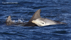 Spirit & Baby (Charlie S Phillips) Tags: sea marine dolphin conservation wdc charlie dolphins whale moray firth bottlenose tursiops truncatus