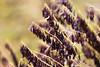 Woad Seeds (oandrews) Tags: red england plants plant nature yellow outside outdoors unitedkingdom outdoor norfolk seed seeds stems gb seedpods dye seedpod woad tinctoria naturalsurroundings isatis wildflowercentre glastum northnorfolkdistrict