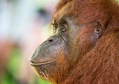 Orangutan at Semenggoh Borneo (800_3749) (Jen Crowley Photography) Tags: sarawak malaysia borneo orangutan endangered semenggoh palmoilplantation