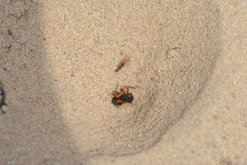 Trichter vom Ameisenlöwen 150830 082.jpg