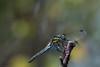 Bokeh Dragonfly 2 (TLU66) Tags: macro nikon dragonfly bokeh hedge libelle øyestikker d7100