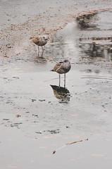 Seagulls (Jaime Prez) Tags: ice water oslo norway norge agua seagull noruega gaviota hielo vigeland noreg