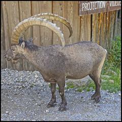 (wilphid) Tags: montagne animaux parc montblanc sauvage hautesavoie leshouches parcdemerlet