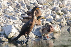 Double-crested Cormorant (astro/nature guy) Tags: bird cormorant doublecrestedcormorant illinoisbird champaignbird