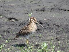 Wilson's Snipe by SpeedyJR (SpeedyJR) Tags: nature birds wildlife indiana explore snipes fwa wilsonssnipe starkecountyindiana speedyjr kankakeestatefwa ©2015janicerodriguez