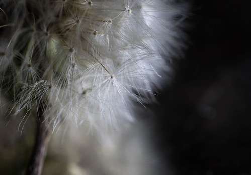 Timeless (Captured Heart) Tags: dandelion wishes wishing dandelionseeds