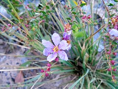Flor (jaques_amanda) Tags: flores minasgerais mg campo fotografia lilas carrancas