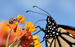 So Different...Both Wonderful (Vidterry) Tags: butterfly monarch ladybug butterflyweed tropicalmilkweed