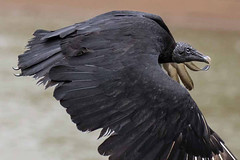 Black Vulture (arthurpolly) Tags: wild holiday nature birds photoshop canon eos countryside costarica wildlife unusual vulture blackvulture avian nationpark naturesfinest 100400l 100400is platinumphoto avianexcellence flickrdiamond unforgettablepictures betterthangood natureselegantshots 7dmk2 elements13