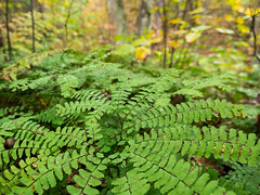 Theme park of fancy (Wicked Dark Photography) Tags: autumn fern fall nature wisconsin forest woods bokeh ferns wi maidenhairfern