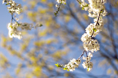 Blooming Sky (Paulina_77) Tags: park flowers blue light sunlight plant blur flower color colour detail tree nature colors beauty leaves yellow garden season cherry 50mm spring blurry flora cherries nikon focus colorful mood branch glare colours dof bright blossom bokeh outdoor background innocent mother atmosphere blurred depthoffield ethereal innocence bloom greenery buds dreamy shallow colourful nikkor50mmf18 nikkor sunlit delicate tones depth atmospheric gentle springtime selective subtle blooming 50mm18 springlike focusing d90 nikkor50mm18 bloomy bokehlicious nikond90 ethereality 50mm18g pola77