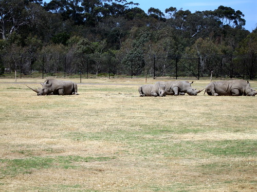 Rhino at Werribee zoo