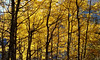 Automne lumineux (JMVerco) Tags: autumn tree fall automne switzerland suisse albero autunno arbre coth swizzera flickrchallengegroup coth5 vercopictureme