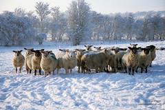 Sheep: Kildare, Ireland. (Colum O'Dwyer) Tags: ireland winter snow cold film animals rural 35mm countryside colum celluloid ruralscene oldkilcullen colcum columodwyer