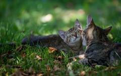 kitty (46) - & junior (Vlado Ferenčić) Tags: cats animals kitty croatia catsdogs hrvatska hrvatskozagorje nikkor8020028 zagorje nikond600 klenovnik