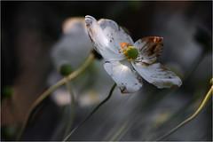 Arboretum Kalmthout Belgium_001 (cees van gastel) Tags: flowers nature belgium natuur arboretum vegetation bloemen kalmthout tamron70300mm autums vegetatie arboretumkalmthout ceesvangastel canoneos550d