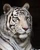 witte tijger Ouwehands JN6A6054 (j.a.kok) Tags: tiger tijger whitetiger ouwehands bengaltiger wittetijger pantheratigristigris