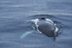 _GRL0783 (TC Yuen) Tags: glacier arctic greenland whales iceberg crusing floatingice polarregion greenlandeast
