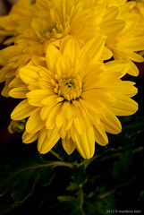 Yellow chrysanthemum flower (marilenaxiari) Tags: plant flower macro nature yellow closeup yard garden nikon europe natural grow cyprus mums chrysanthemum asteraceae chrysanths λουλουδι κιτρινο κηποσ χρυσανθεμα