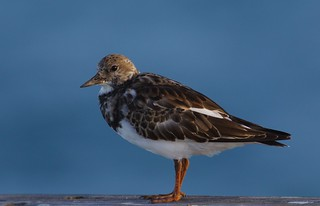 Ruddy Turnstone (Arenaria interpres) RUTU - Ruddy Tired-of-turning-stone's-portrait.