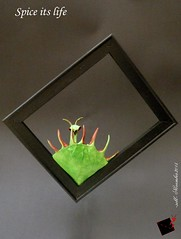 spice its life (-sebl-) Tags: plant mantis origami praying spice frame carnivorous challenge lokta sebl