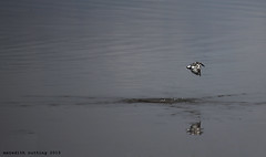 Pied Kingfisher (meredith_nutting) Tags: africa fishing flight rwanda kingfisher eastafrica piedkingfisher easternafrica