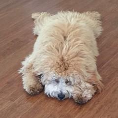 shastas-oakely-is-one-sleepy-puppy_20447572478_o