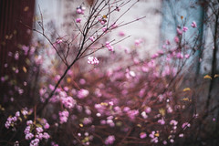 (Cody Schroeder) Tags: pink autumn plant fall water berry spokane bokeh f14 sony voigtlander drop 40mm a7 mirrorless