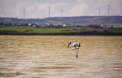 Loneliness (iosif.michael) Tags: sony a55 flamingo saltlake larnaca cyprus water