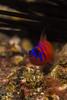 bbgobyDec29-16 (divindk) Tags: anacapa anacapaisland californiaunderwater channelislands channelislandsnationalpark lythrypnusdalli sanmiguelisland santabarbara santacruzisland santarosaisland underwater ventura bluebandedgoby catalinagoby color diverdoug eyes fish goby marine ocean reef sea spines stripes teeth underwaterphotography urchin
