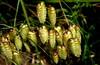 QUAKING GRASS (Lani Elliott) Tags: grass grasses shellgrass blowflygrass quakinggrass plants tasmania green light bright