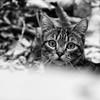 The First Snow In Her Life (AnyMotion) Tags: nelli snow schnee garden garten portrait porträt porträtaufnahmen pet cat cats katze katzen animals tiere 2016 anymotion tabby getigert atigrada félin chat gata 7d2 canoneos7dmarkii square 1600x1600 bw blackandwhite sw