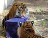 Tiger Flirting (greekgal.esm) Tags: sumatrantiger tiger bigcat cat feline animal mammal carnivore indah cj castrojr losangeleszoo lazoo losangeles griffithpark california sony rx10m3
