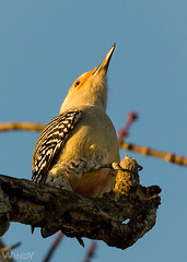 Red Bellied Woodpecker (Zoo Much Information) Tags: czy7fo czyn7fo bird tree pointy beak up clutching branch 2016
