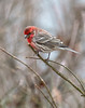 Common Beauty (dshoning) Tags: bird finch male trees twigs red bokeh