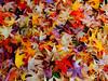 Águas Frias (Chaves) - ... diversidade colorida de folhas caídas ... (Mário Silva) Tags: águasfrias aldeia chaves trásosmontes portugal ilustrarportugal madeinportugal máriosilva 2017 janeiro inverno lumbudus folhas