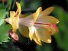 Outono Brasil (–AliRu–) Tags: outonobrasil schlumbergera christmascactus christmas zygocactus zygo cactus plant flower blossom indoor