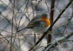 Robin (ditmaliepaard) Tags: roodborstje robin safaripark bergen beeksebergen ngc