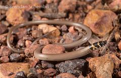 Rusty-topped Delma (Delma borea) (Brendan Schembri) Tags: delmaborea pygopod legless lizard australia reptile brendanschembri