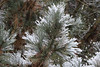 Snowy Pine (nikname) Tags: snow snowydays snowybranches snowytrees trees winter wintertrees citystreets