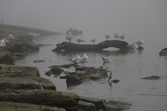 Seagulls by the Sea (twinkleinmyeye) Tags: fog foggy landscape birds sea water river hazy haze rocks nautical canon70d dogwood2017 dogwoodweek2 sooc seagulls gulls bird afternoon art dogwood52weekchallenge animals birdphotography depthoffield grayday greyday grey clouds cloudy misty mist