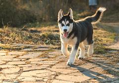 Husky (antonio.canoci) Tags: cane dog husky ombre ritratto